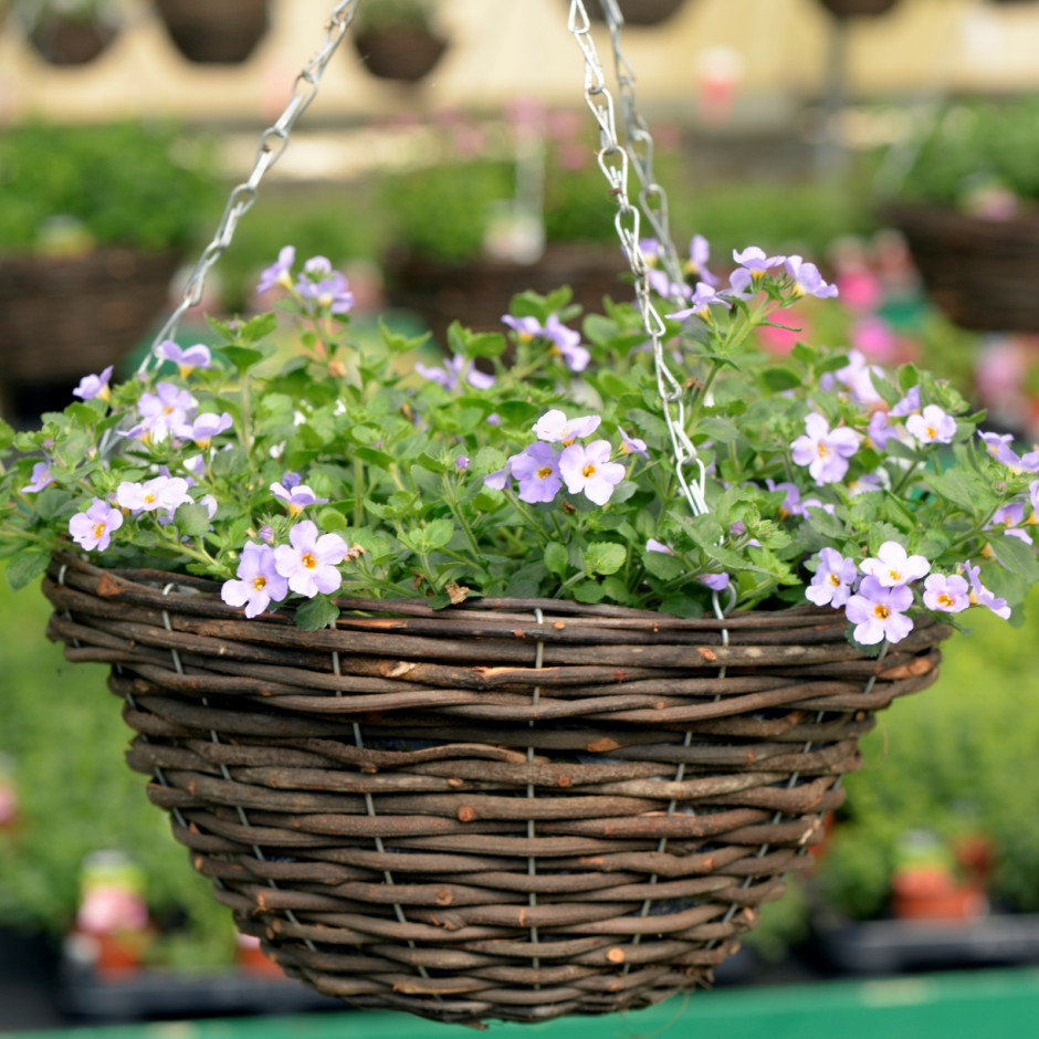 Hanging_basket_Bacopa_colossal_blue1_resized_p_r_website