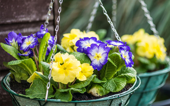 hanging-baskets-with-primroses