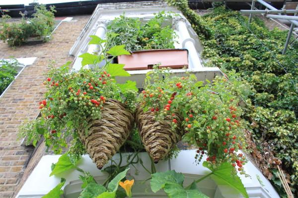 summer hanging basket plants