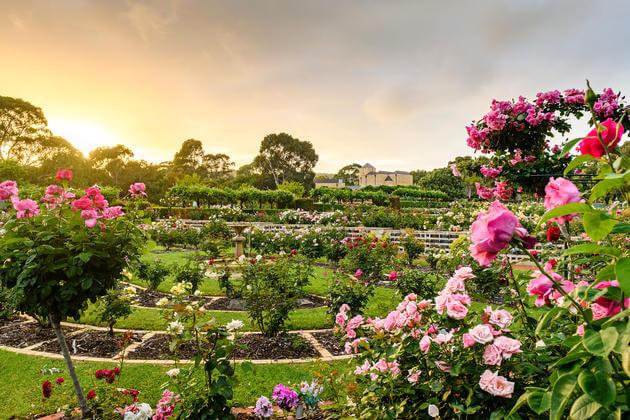 centennial-park-roses