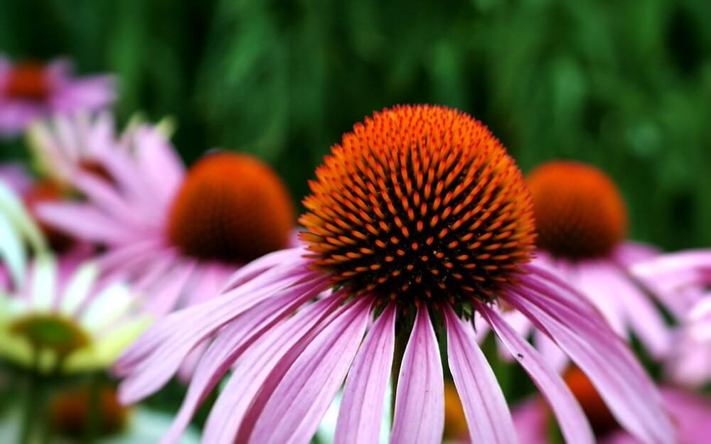 cotswold garden flowers