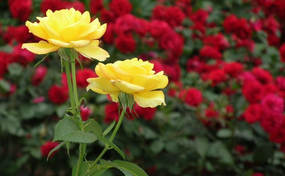regents park rose garden