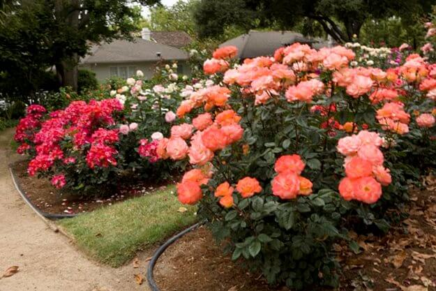 rose-garden-growing-roses-weeks-roses